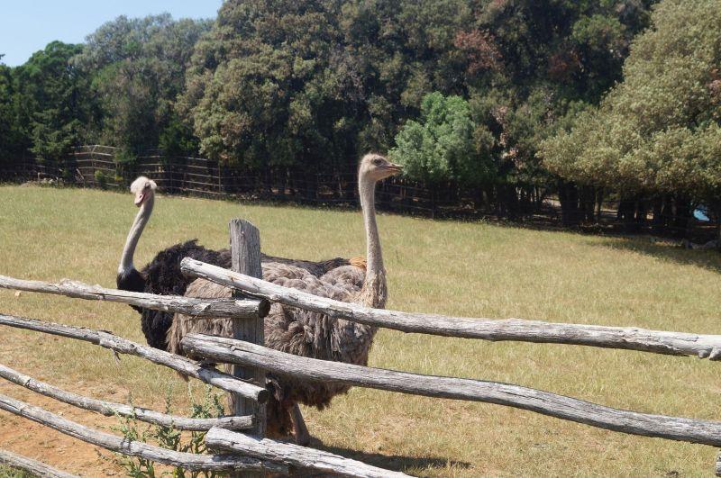 Strusie zparku safari nawyspie Veliki Brijun